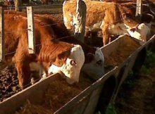 FEEDLOT ANIMALES COMIENDO